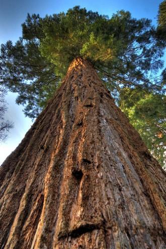 Самые высокие виды деревьев в мире