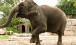 Чем отличаются индийский и африканский слон