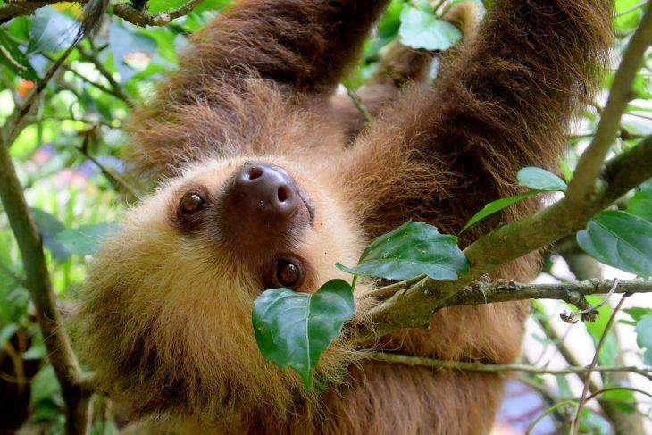 влажные экваториальные леса ленивец
