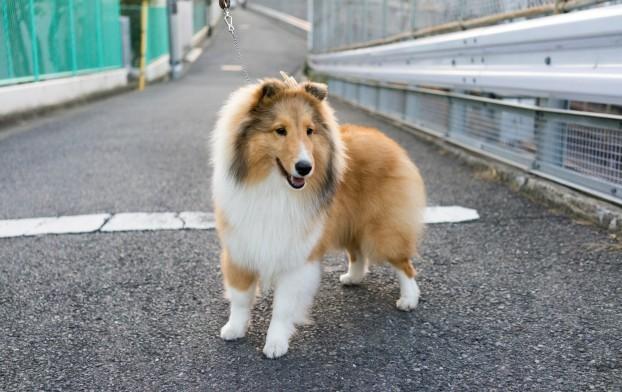 топ 10 умных пород собак - Шелти