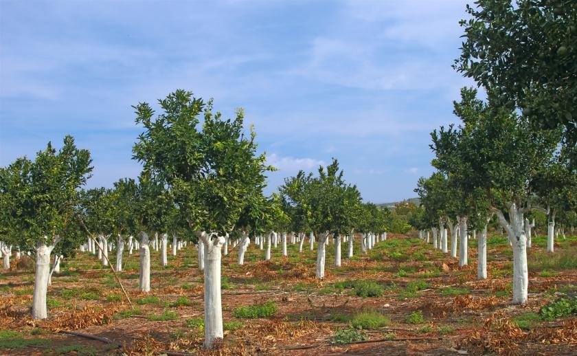 Зачем белят деревья
